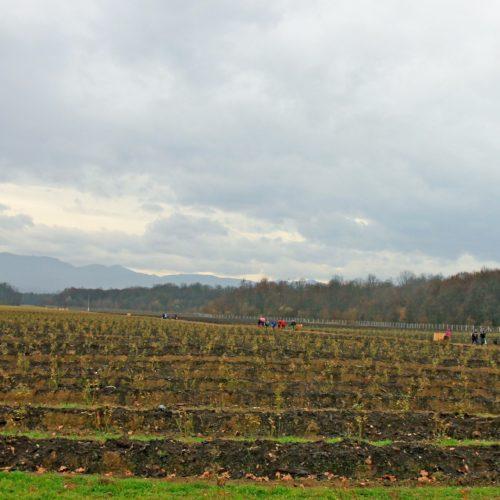 Jedna od najvećih plantaža u Evropi: Živinice postaju centar za proizvodnju borovnica