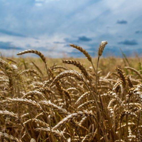 Dobar urod u prošloj godini: Značajno povećanje proizvodnje žitarica, povrća…