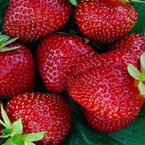 Uzgajivači jagoda iz Čelića poručuju: Zaobiđite uvozno, kupujte domaće!