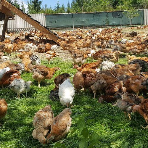Brojler prvi i jedini u BIH proizvodi ekološko pileće meso