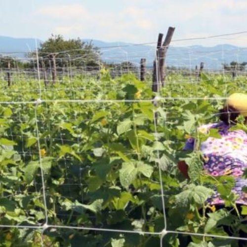 Kornišoni, zelena grana poljoprivrede Bosne i Hercegovine
