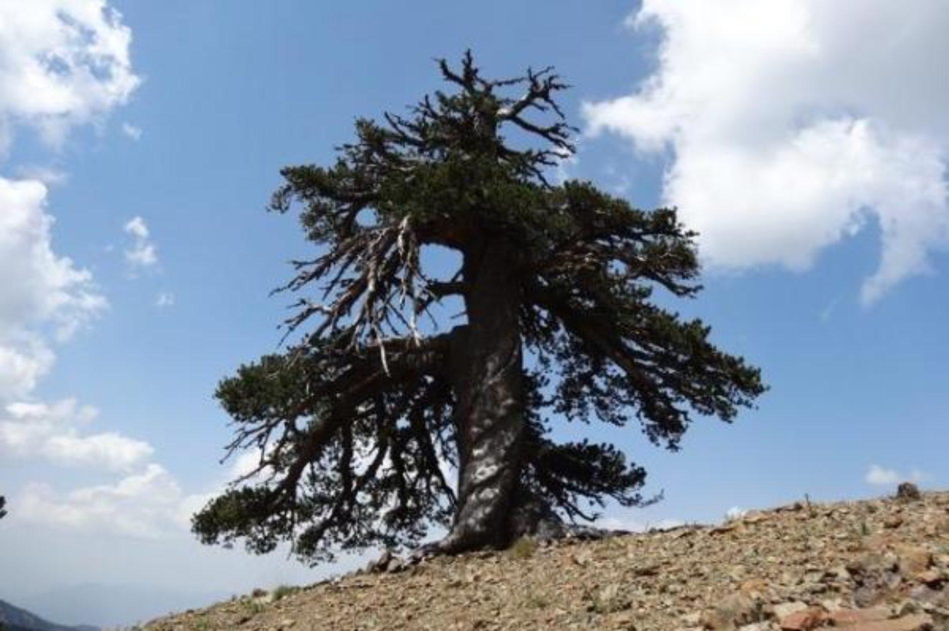 Novo otkriće: Bosanski bor je najstariji živi organizam u Evropi