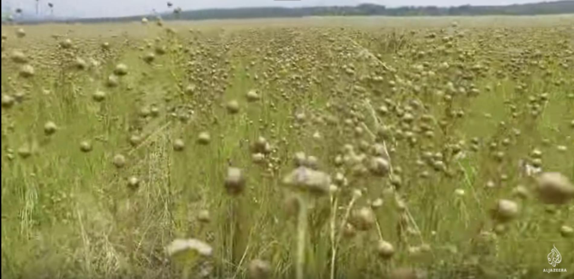 U Bosanskom Petrovcu okreću se uzgoju lana