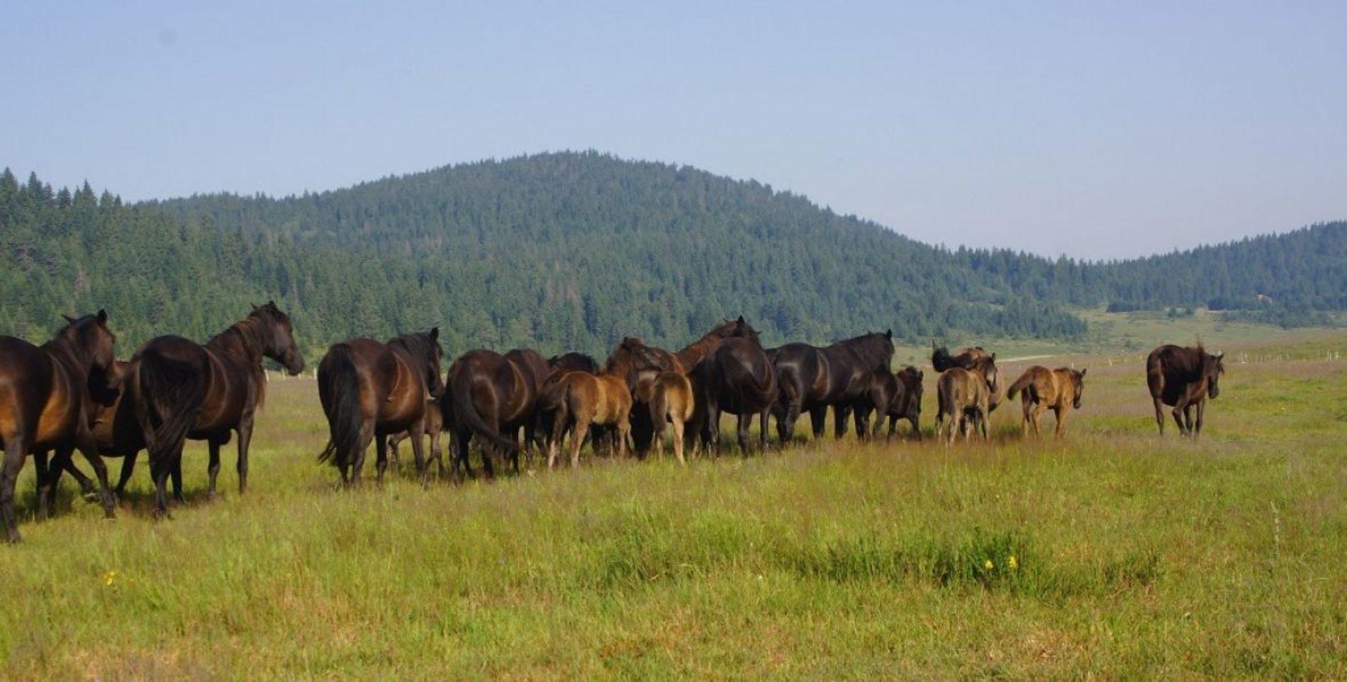 Uzgoj bosanskog brdskog konja: novi uzgajivači u Srbiji i Austriji