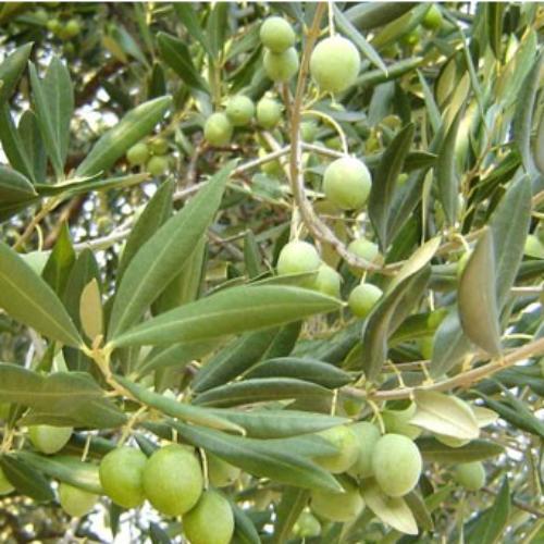 Maslinovo ulje iz naše zemlje ocijenjeno najboljim na Festivalu maslina u Zagrebu
