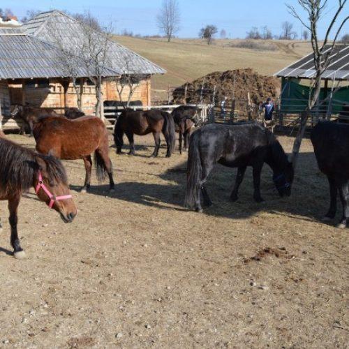 Osnovana nova ergela bosanskog brdskog konja