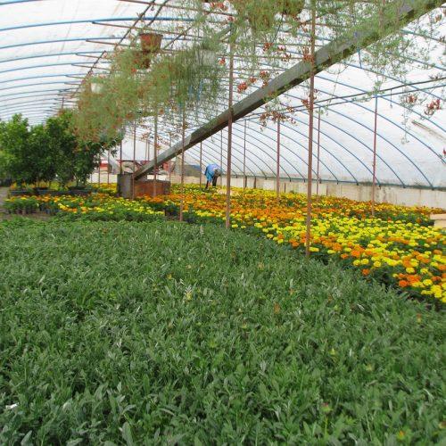 Šampioni u proizvodnji cvijeća: Selo sa više plastenika nego stanovnika