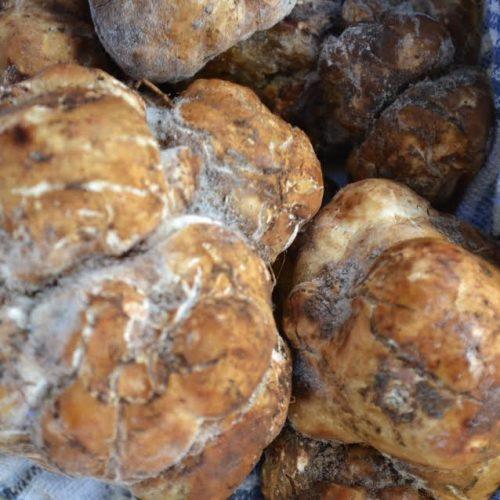 Najskuplja gljiva: Kod Kaknja pronašli bijele tartufe