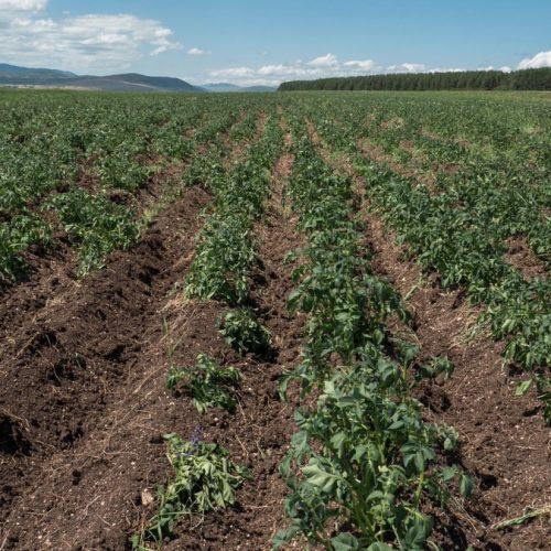 Bogatstvo Glamoča: Krompir, pšenica i heljda vrhunske kvalitete