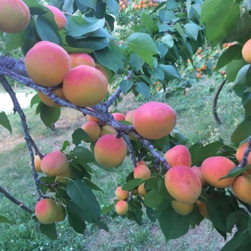 Pozitivna povratnička priča: U mjestu Koraj uspješno se bave proizvodnjom voća