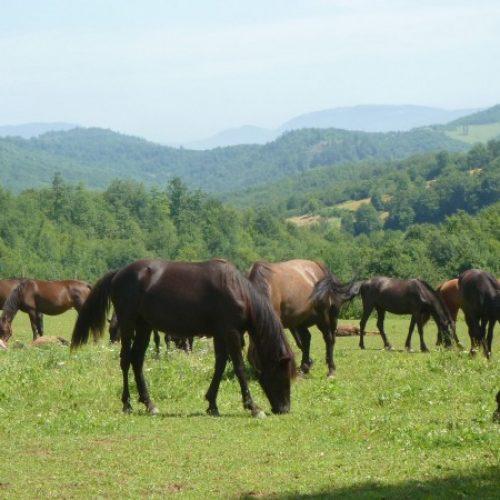 U Ljubljani trajno čuvanje gena bosanskog brdskog konja