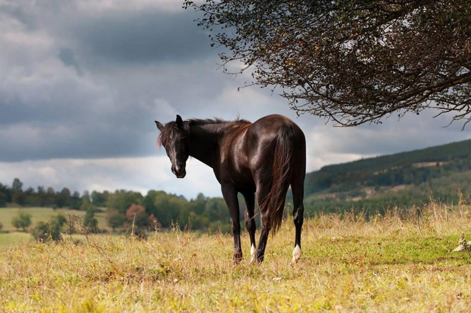 Osnovana još jedna ergela za uzgoj bosanskog brdskog konja