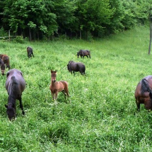 Bosanski brdski konj ima osobine drevnih pasmina