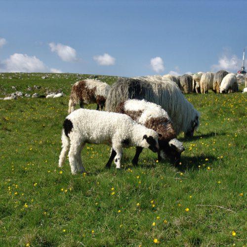 'Statistika poljoprivrede, šumarstva i ribarstva' – Bosna i Hercegovina uzgaja dva puta više ovaca od Austrije