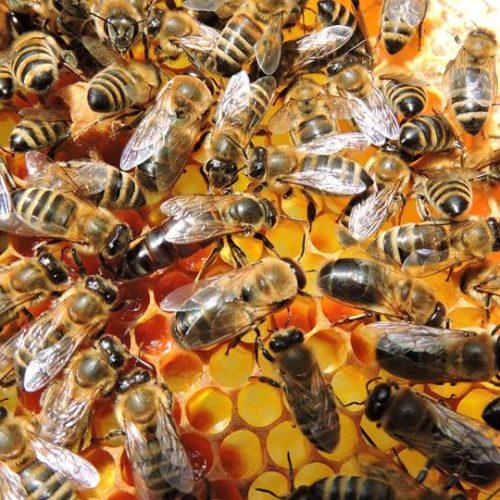 Izvoz meda u protekloj godini povećan za 100% – najviše se izvozilo u arapske zemlje