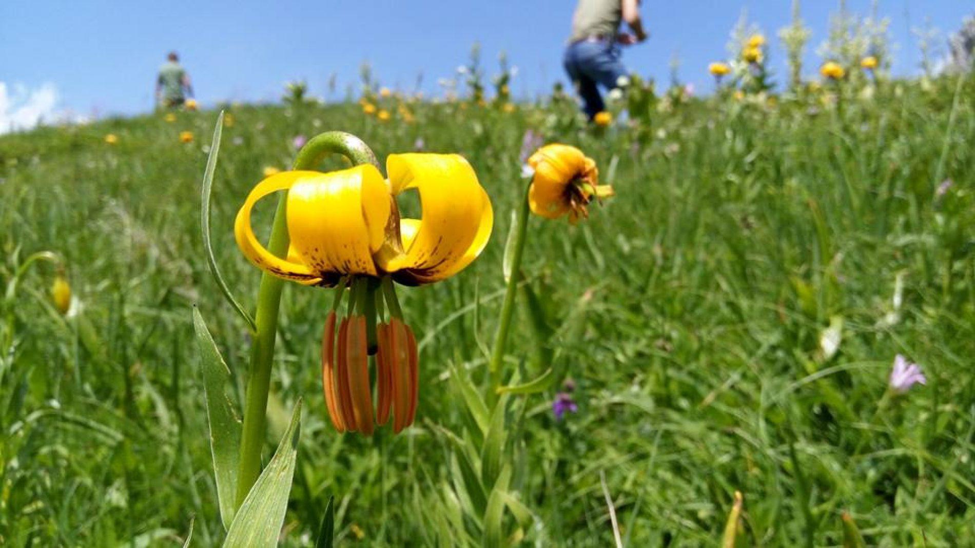 'Lilium bosniacum' na Magliću: Najviša bosanska planina ukrašena zlatnim ljiljanima