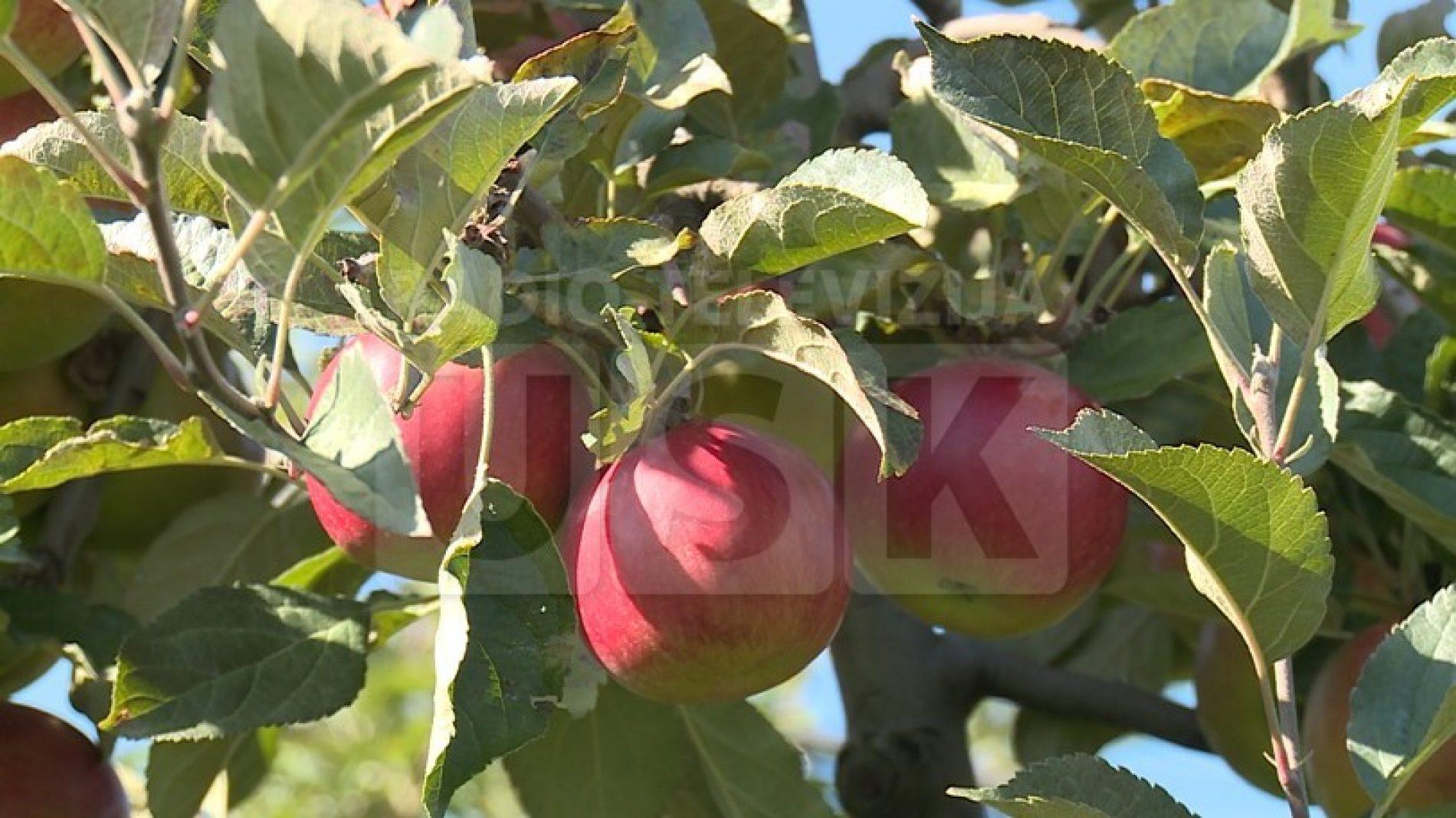 Bosna i Hercegovina za pola mjeseca u Rusiju izvezla 300 tona jabuka
