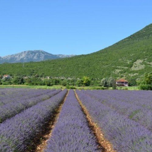 Ljekovito bilje prilika za razvoj istočne Hercegovine