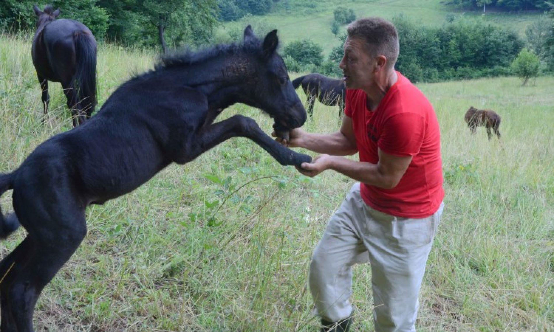 Raste interes za plemenitu pasminu bosanskog brdskog konja (FOTO)
