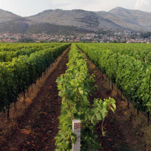 """Hercegovački vinari """"trljaju ruke"""" nakon uspješne godine"""