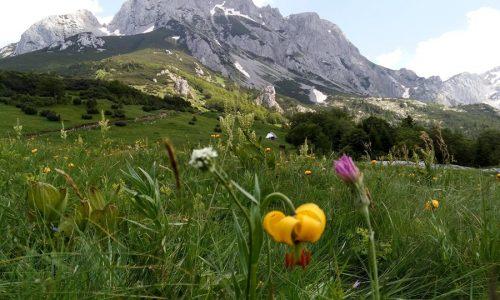 Prof. Redžić o bosanskom ljiljanu: Ponos bosanskih planina – Lilium bosniacum (VIDEO)