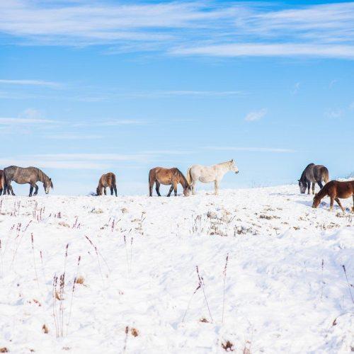 Divlji konji sa Borove glave prkose zimi (FOTO)