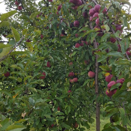 Veliko povećanje proizvodnje šljive, jabuke, grožđa, soje, kukuruza, duhana…