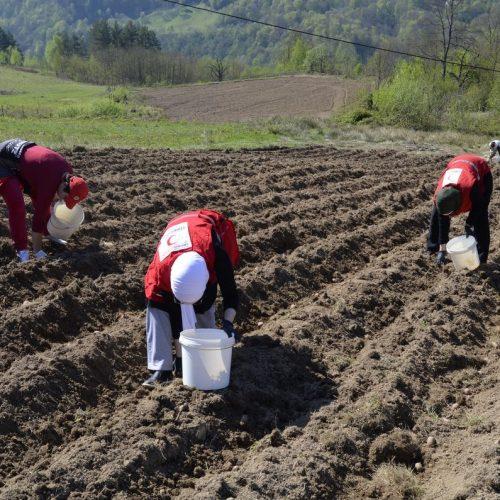 Srebrenica: Zasijano više od dvadeset dunuma krompira za potrebe humanitarne organizacije