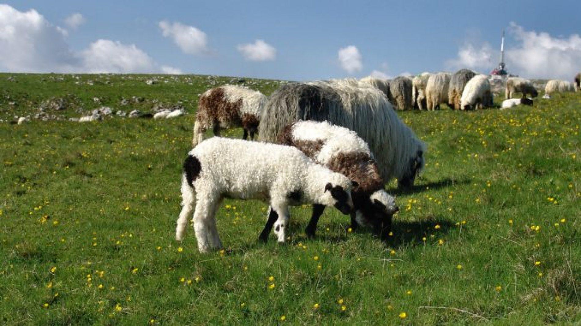 Bosanska pramenka: Malo zahtjevna, otporna na bolesti, izdržljiva