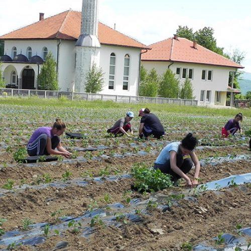 Vrijedni džemat Maurovići Visoko na vakufskoj zemlji proizvodi hranu