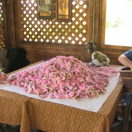 Gračanica: Porodica Jukan i njihove đulbšećer ruže; Litar ulja do 15 hiljada eura