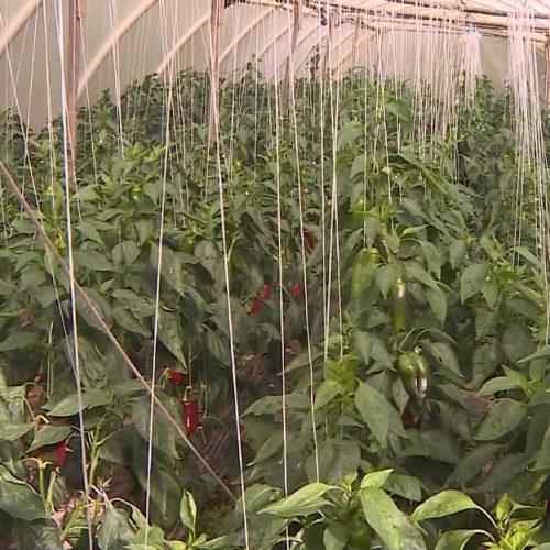 Cazin među vodećim u našoj zemlji po poljoprivrednoj proizvodnji (VIDEO)