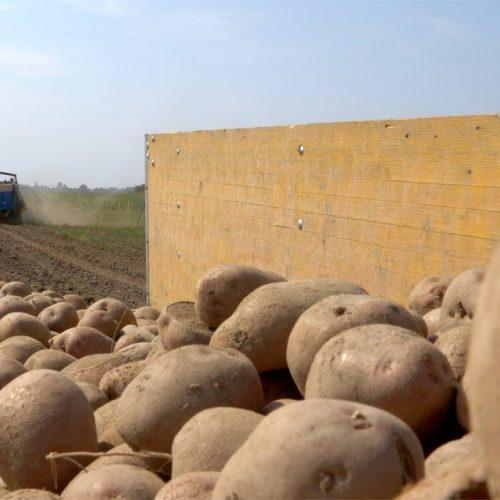 Krompir u Janji na 350 dunuma, prinosi veći od očekivanih (Video)