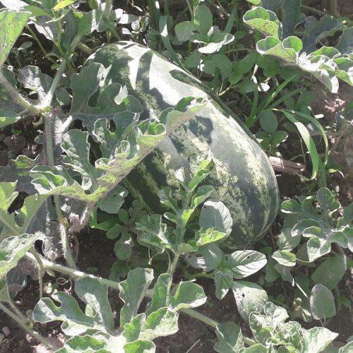 Vidičevići 15 godina proizvode lubenice, ove godine očekuju proizvodnju od 60 tona