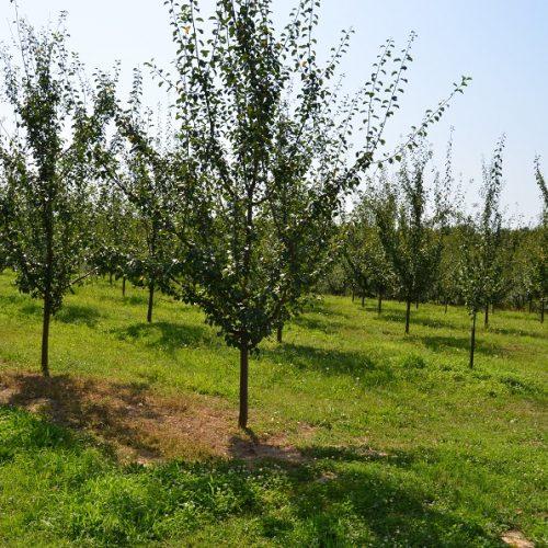 Na području Brčko distrikta BiH 1.200 hektara zasađeno voćem