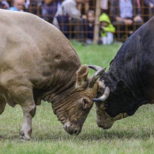 Tradicija: Spektakularna borba bikova u Visokom (Video)