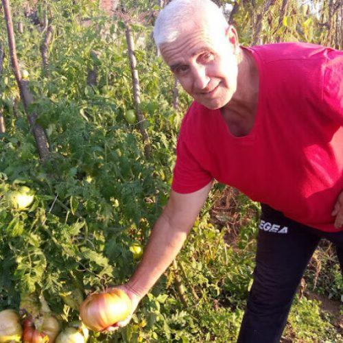 Salko Smajić na imanju kod D. Vakufa uzgaja paradajze teže od 1 kg