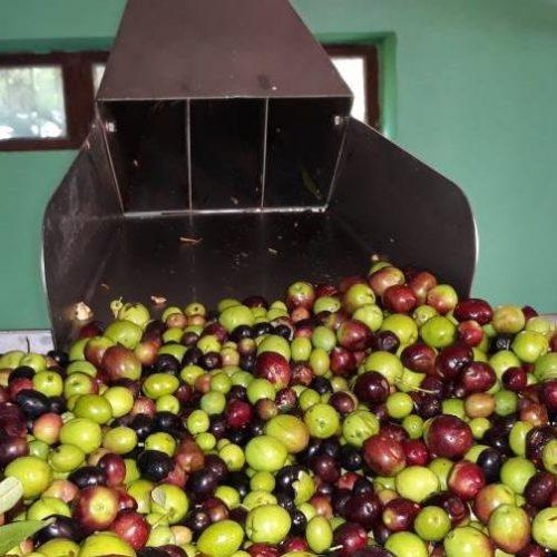 Potekle prve zlatne kapi maslinovog ulja iz stolačke uljare