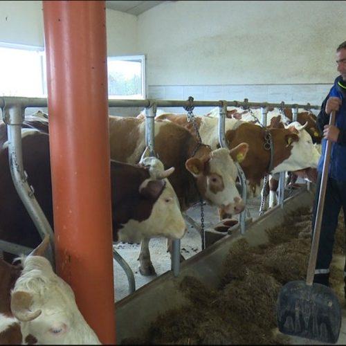 Porodica Mehić iz Krajine uspješno se bavi stočarstvom; kravama obezbijedili i muziku