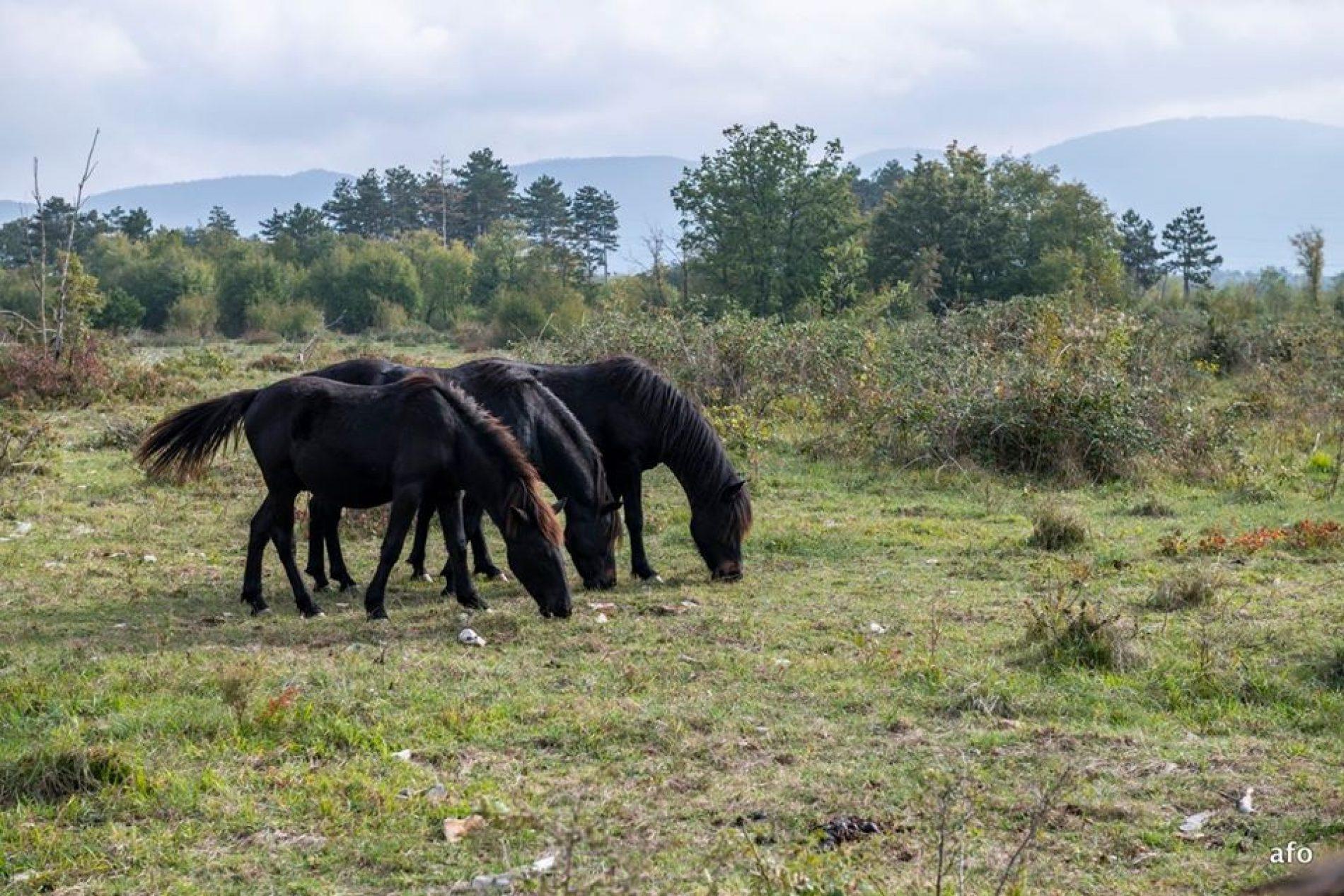 Bosanski brdski konj nije više ekstremno ugrožena pasmina