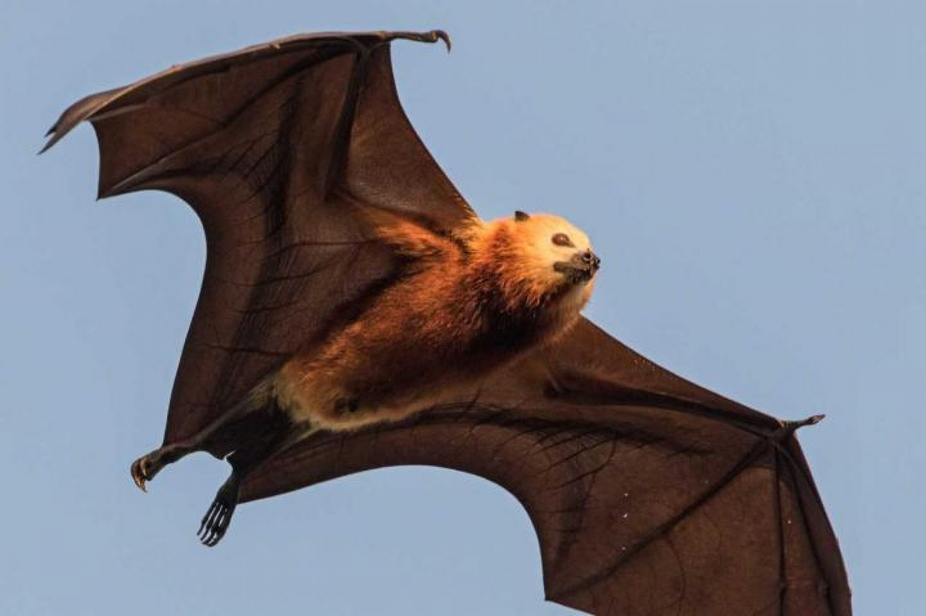 Jedina leteća lisica u Evropi (Video)
