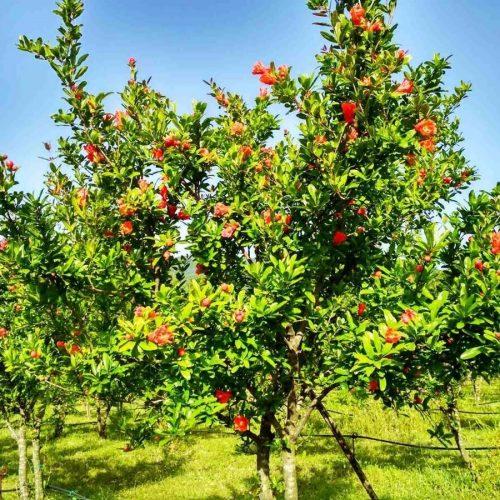 Hercegovina: Uzgoj nara se isplati