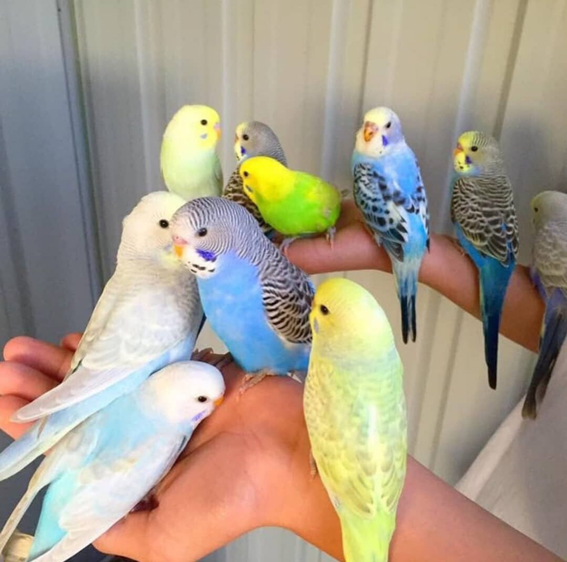 Elvedin Halilović uzgoji 500 papagaja tokom jedne sezone