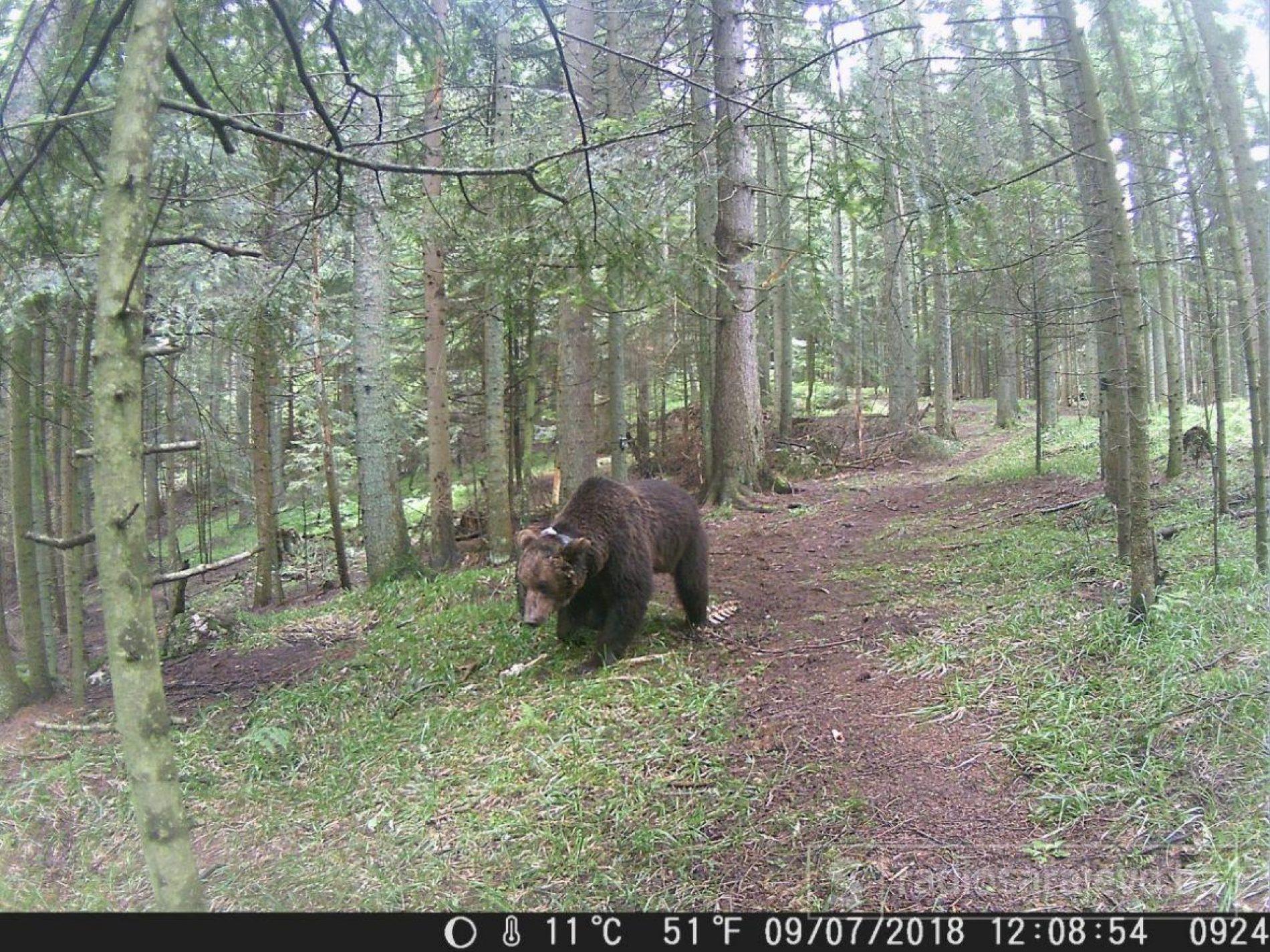Nadomak Sarajeva: Medvjedi i vukovi na Skakavcu su blago