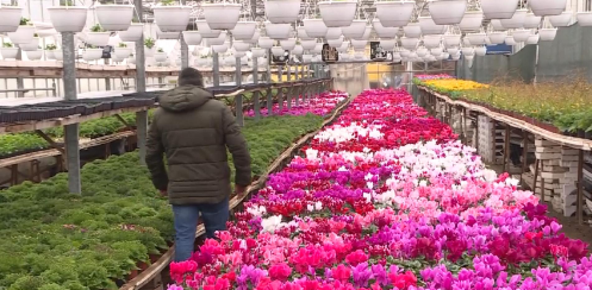 Proizvodnja cvijeća u Visokom (Video)