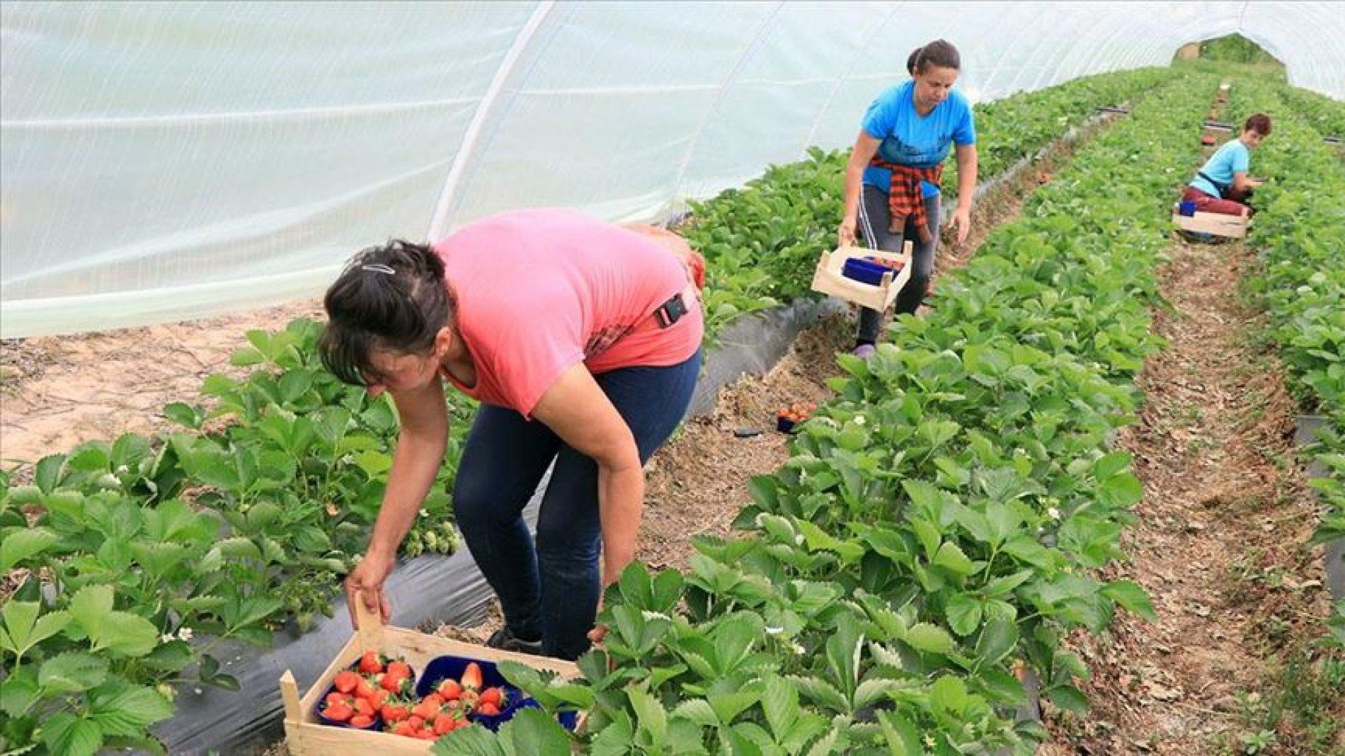Najmanje polovina stanovništva Općine Čelić uzgaja jagode