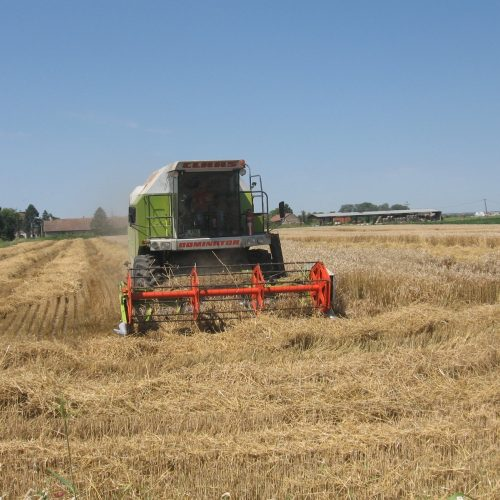 Žetva pšenice u Semberiji: Cijena dobra, godina rodna