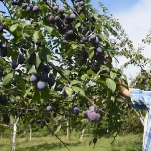 Kalesija: 75-godišnji Suljo Fejzić ne pamti ovakav rod šljive (Video)