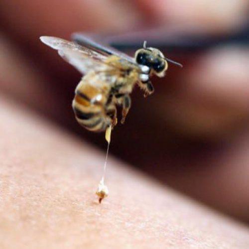 Bh. pčelari počinju sa proizvodnjom pčelinjeg otrova – lijek koji uništava i ćelije raka