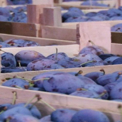 Osam hiljada tona šljive iz TK izvezeno na tržište EU (VIDEO)